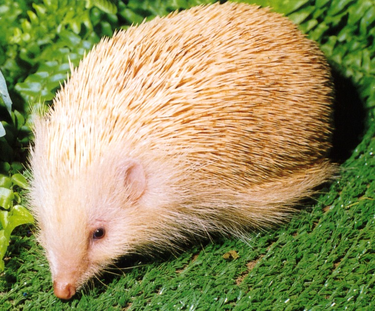 photograph of an albino hedgehog