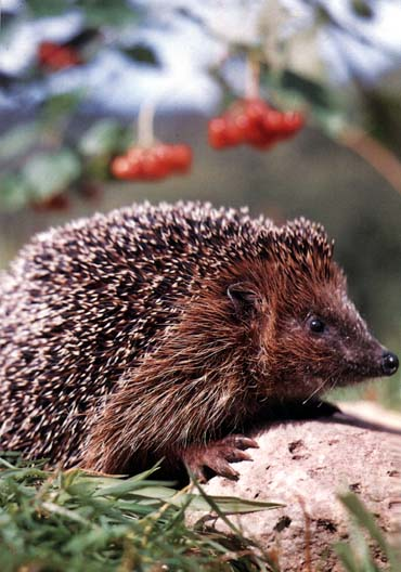 photograph of a happy hedgehog