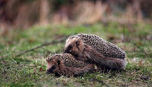 photograph of hedgehogs having sex
