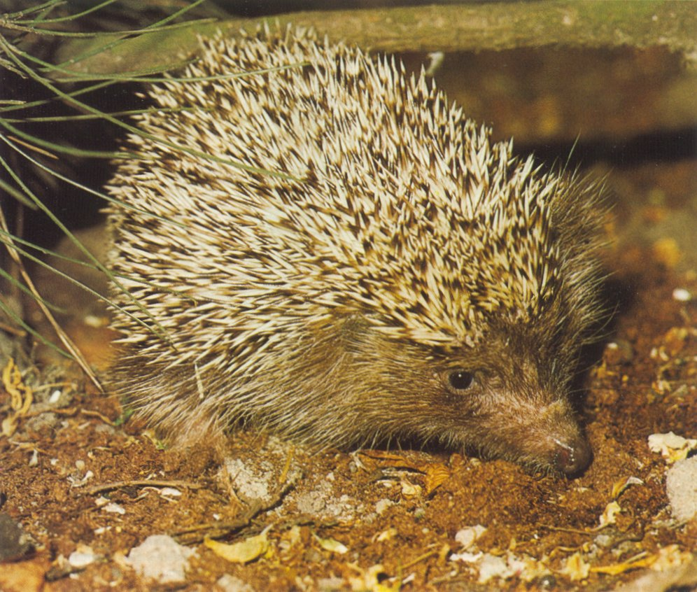 photograph of a wary young hedgehog
